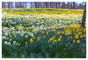 The Largest Daffodil display in the U. S.