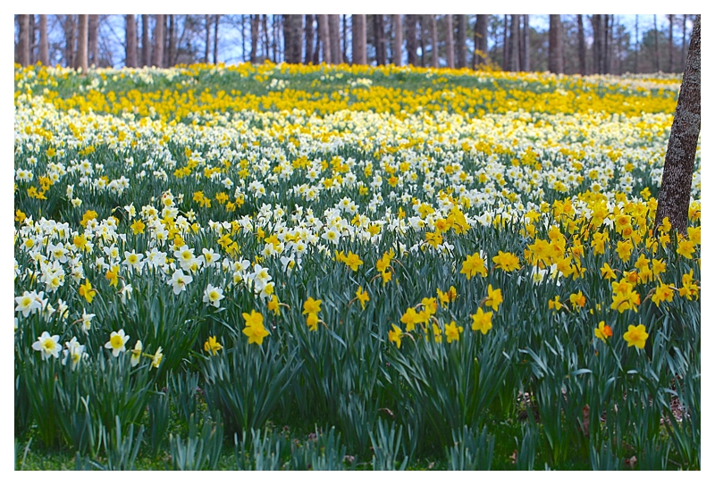 Angie's Trip to the daffodils